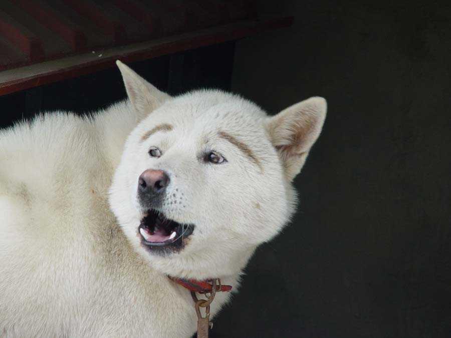 まゆげが面白い犬の壁紙pc